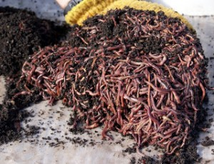 Vermicomposting-John-Bunten-Photos-by-Ginger-Placeres-35