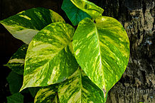Epipremnum aureum Photo: Joydeep  /  Wikimedia Commons, via Wikimedia Commons