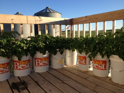potatoes in 5gal buckets