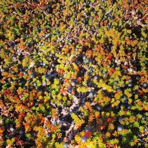 Blackberries - Sisualik 2013