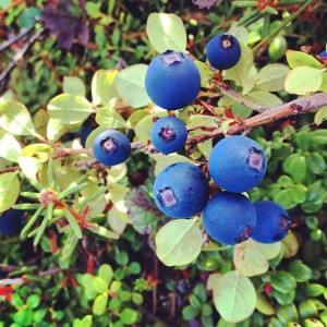 Blueberries in the Tundra Kotzebue 2013