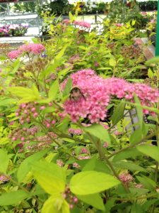 Bee on a goldmound spirea plant