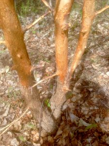 Hare damaged apple tree