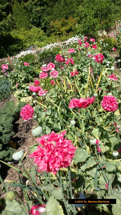 Poppies, Kale, Onions, and more grow in the Arboretum's Vegetable Garden