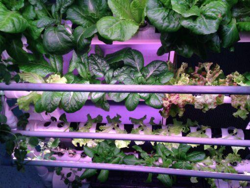 NFT Hydroponics setup growing lettuce