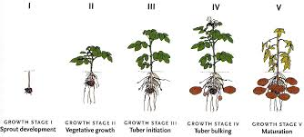 Growing stages